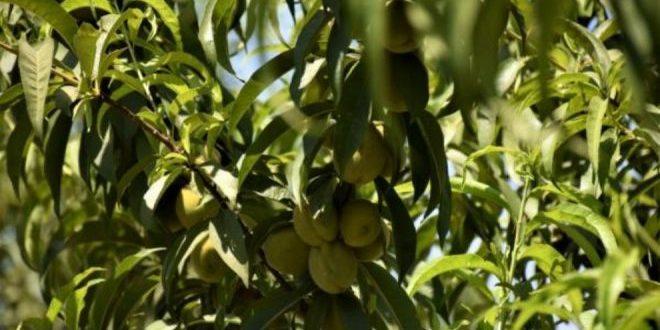 Rojava Haverne leverer friske produkter og et levebrød for flygtninge