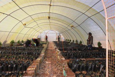 100.000 oliventræer plantet i Raqqa